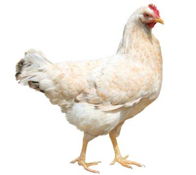Hvordan parer høner seg